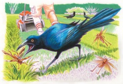 Texquisite Corpse: Great Tailed Grackle